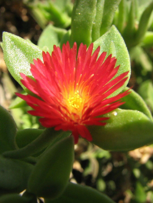 Неизвестный цветок с Мальты